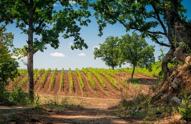 Гунько виноградник