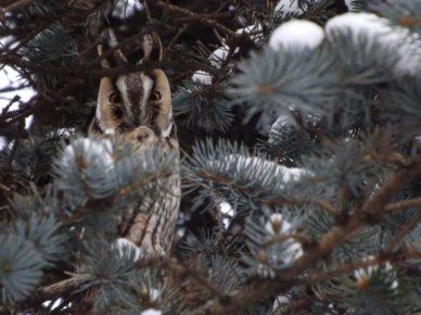 Зима сова